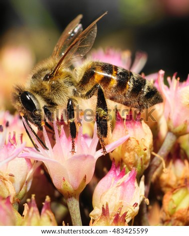 Macro side view of Caucasian bees collecting pollen and nectar from flowers of pink stonecrop
