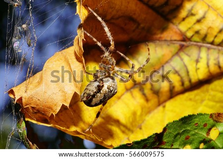 Macro side view of Caucasian large colored spider Araneus with striped legs and fluffy in the lair of the spider web with prey and a yellow autumn leaves