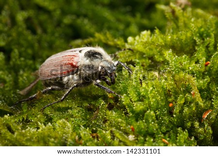 Macro side-view of cockchafer bug (Melolontha melolontha) over green moss background  - stock photo