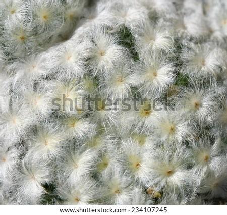 macro soft hair of cactus - stock photo