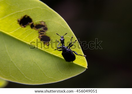 Macro the black insect on the green leaf. - stock photo