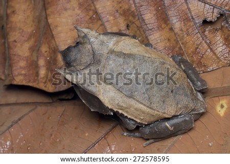 Macro top view shot of a Malayan Horned Frog on leaf litter - stock photo