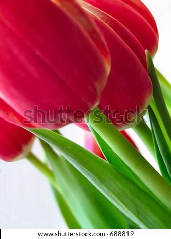 macro tulips tulip - stock photo