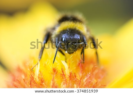 Macro up of Bumble Bee on Yellow and Orange Flower