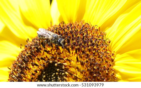 Macro view of a bee on a sunflower a sunny day