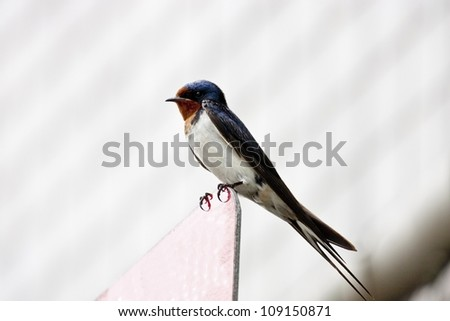 macro view of a cute swallow migrate in Taiwan - stock photo