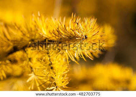 Macro view of a larch tree branch and needles of a yellow color late in autumn. Larch has a spiritual meaning of protection and anti-theft.