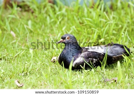 macro view of a pigeon standing on ground in spring