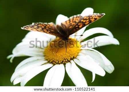 Macro view of butterfly on a chamomile - stock photo