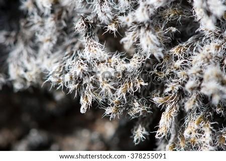 Macro view of dried up Icelandic moss. - stock photo