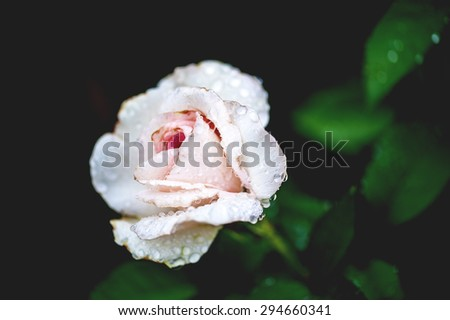 Macro view of pink rose with rain drops and dark background, shallow DOF - stock photo