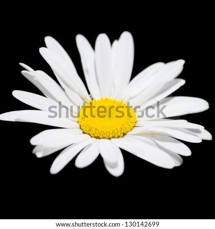 Macro view of single chamomile over black background - stock photo