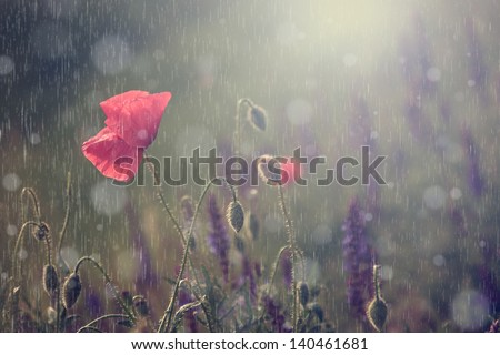 Macro view of vintage poppy flower in rain with sunlight - stock photo