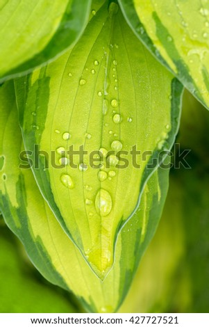 macro water drops on green plant leaf for natural background, wallpaper or backdrop use. natural wallpaper background - stock photo