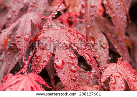 macro water drops on red mapple leaf for natural background, wallpaper or backdrop use - stock photo