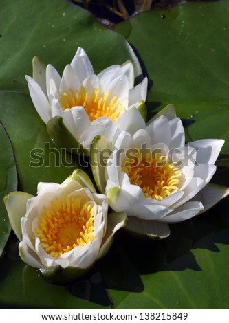 macro white water lilies in a pond in summer - stock photo
