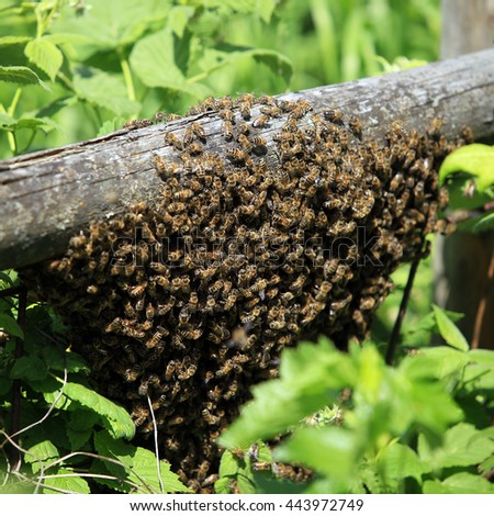 macro wild swarm of bees on a branch in the forest - stock photo