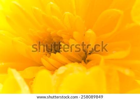 Macro yellow aster flower. - stock photo