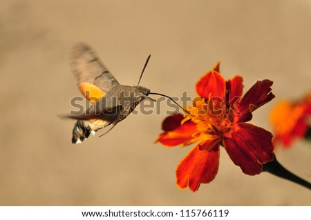 Macroglossum stellatarum, Hummingbird Hawk-moth - stock photo