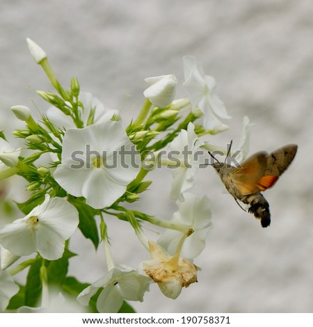 Macroglossum stellatarum (Hummingbird Hawk-moth) on white phlox - stock photo