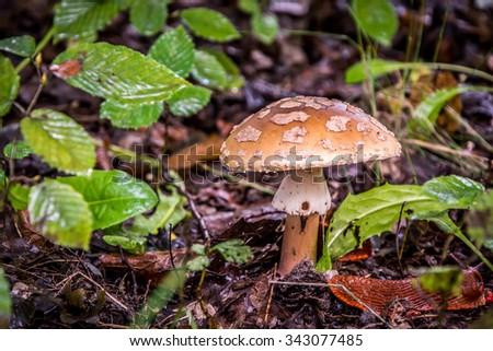 Macrolepiota Mushroom / Fungus  - stock photo