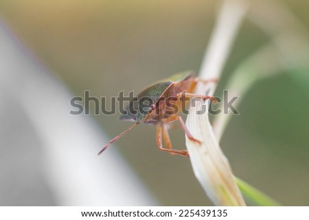 Macrophoto of the bedbug on the grass - stock photo