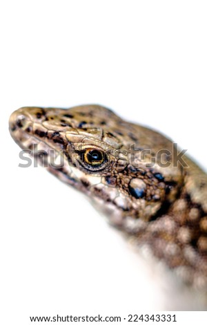 Macto - Common Lizard, Lacerta vivipara, single animal - detain on head and eye - stock photo