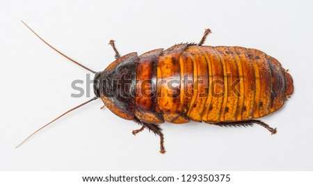 madagascar cockroach - Gromphadorhima portentosa - Madagascan giant hissing cockroach or Hisser - stock photo