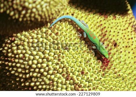 Madagascar day gecko (Phelsuma madagascariensis) - stock photo