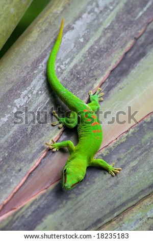 Madagascar gecko in Zurich Zoo (Switzerland) - stock photo