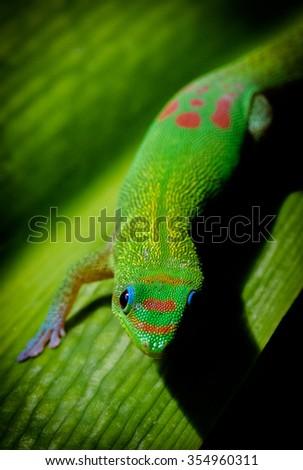 Madagascar Gold-Dusted Gecko - stock photo