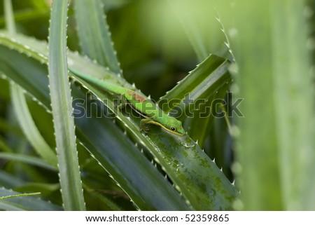 Madagascar Green Lizard - stock photo