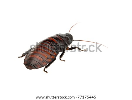 Madagascar hissing cockroach - stock photo