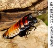 Madagascar hissing (Gromphadorhina portentosa) cockroach - stock photo