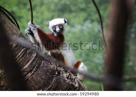 Madagascar Lemur - stock photo