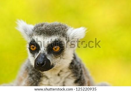 Madagascar Ring-tailed lemur (Lemur catta) - stock photo