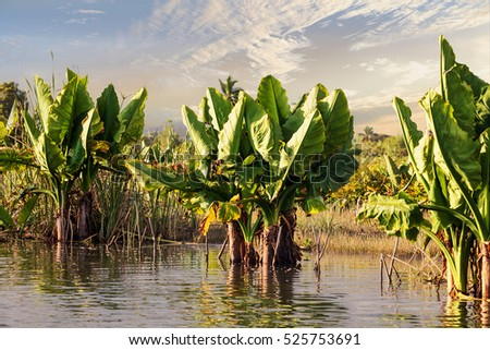 Madagascar river Antainambalana delta landscape in Tamatave province near Maroantsetra. Alocasia Macrorrhizos Or Elephant Ears plant in front. Countriside wilderness virgin natural scene in Madagascar