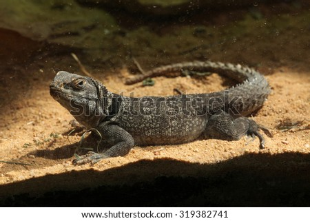 Madagascar spiny-tailed iguana (Oplurus cuvieri), also known as the Madagascar collared lizard. Wild life animal.  - stock photo
