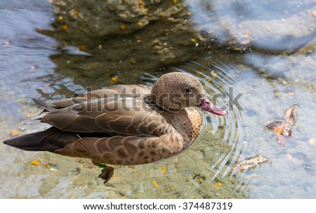 Madagascar Teal (Anas bernieri) swimming in a pond - stock photo
