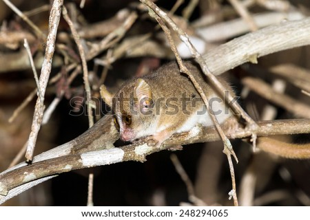 Madame Berthe's mouse lemur (Microcebus berthae), the smallest primate in the world, in Kirindy Mitea National Park, Madagascar - stock photo