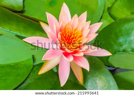 Madame Wilfron Gonnerre Red India Water Lily, The lotus flower represents one symbol of fortune in Buddhism It grows in muddy water. Thailand - stock photo