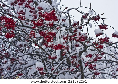Madesimo, Italy, december 25, 2013: snowing Christmas day in Italy Winter season. Tree branches and red berries covered with snow.  - stock photo