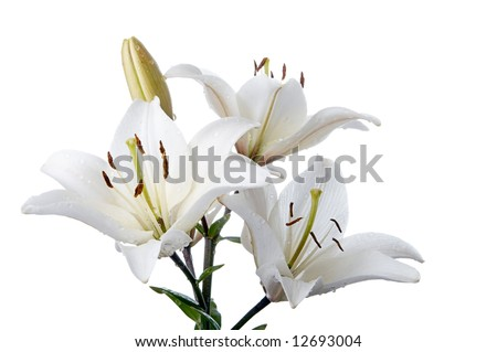 madona lily on white background