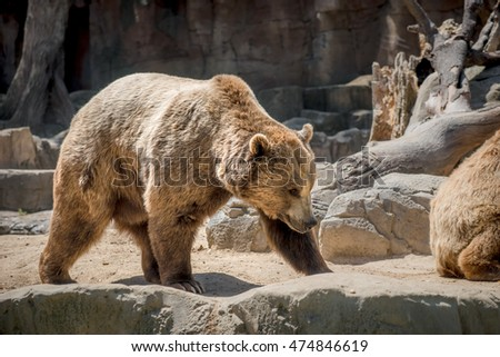 MADRID, SPAIN - JULY 3, 2016: Brown bears (Ursus arctos) in Madrid zoo, Spain