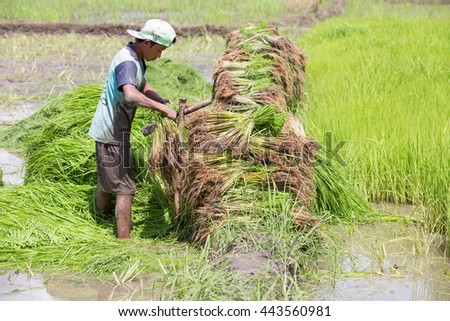 MAE SOT, TAK, THAILAND - JUNE 27, 2016 : Young man unidentified Myanmar immigrant worker is trimming rice seedlings leaves to transplant at Mae Sot, Tak, Thailand. - stock photo