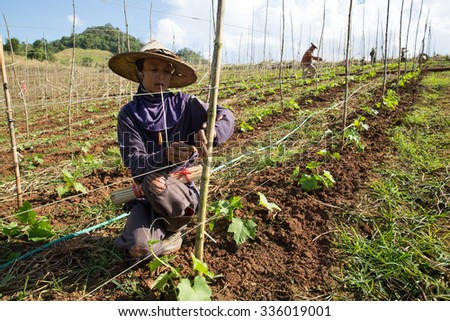 MAE SOT, THAILAND - NOV5 : Unidentified woman Myanmar migrant worker is tying scaffolding luffa cylindrica at the farm Tambon Mahawan, Mae Sot, Thailand on NOVEMBER5, 2015