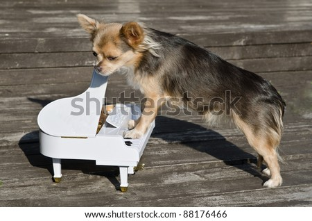 Maestro chihuahua dog is playing on piano at sunny stage - stock photo