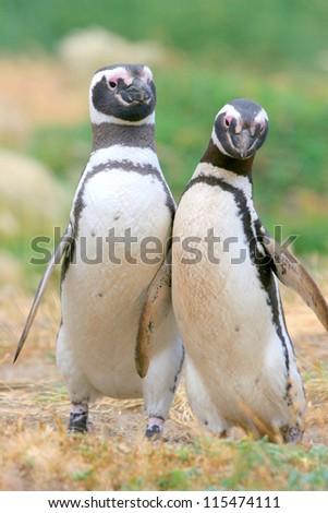 Magellan penguins collide, Punta Arenas, Chile - stock photo