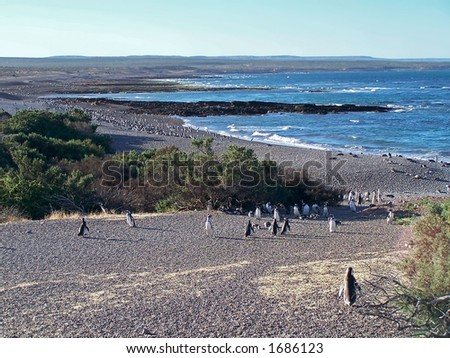 Magellan penguins in natural reserve Punto-Tombo (Argentina) - stock photo