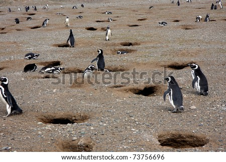 Magellan penguins in pairs and families on an island in Chile - stock photo